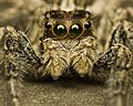 Come Closer, Jumping Spider (Salticidae) (6246035845).jpg