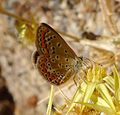Common Blue. Polyommatus icarus^ Female. second brood. - Flickr - gailhampshire.jpg