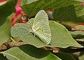 Common Emigrant (Catopsilia pomona) on a Bougainvillea species in Kolkata W IMG 3642.jpg