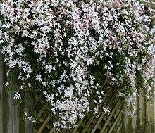 Common Jasmine.jpg