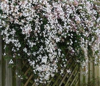 Jasmine - Jasminum officinale—Common Jasmine
