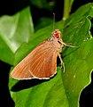 Common Redeye Matapa aria by Dr. Raju Kasambe DSCN7251 (7).jpg