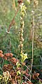 Common Toadflax (Linaria vulgaris) - Nesodden, Norway 2020-09-20 (02).jpg