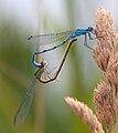 Common blue damselflies (6001616545).jpg