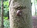 Common snail (Cornu aspersum) (3546216632).jpg