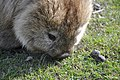 Common wombat 7.jpg