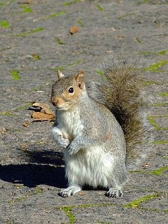 Company's Garden - Squirrel in the Company's Garden