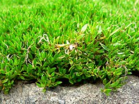 Coprosma petriei leaves
