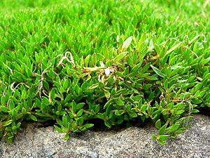 Coprosma petriei - Coprosma petriei leaves
