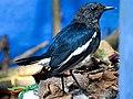 Copsychus saularis, Oriental magpie-robin 2.jpg
