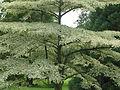 Cornus alternifolia argentea (20767773674).jpg