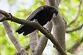 Corvus brachyrhynchos UL 04.jpg