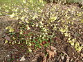 Corylopsis pauciflora in Jardin des Plantes 03.JPG