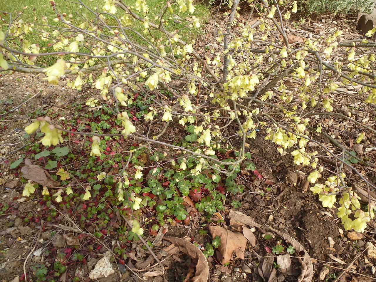 File corylopsis pauciflora in jardin des plantes 03 jpg for Au jardin des plantes chambery