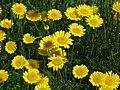 Cota tinctoria Rumian żółty 2013-06-23 03.jpg