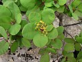 Cotinus coggygria Scop.jpg