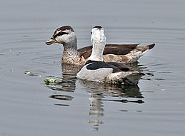 Cotton Pygmy-goose (Nettapus coromandelianus)- Male & Female l in Kolkata I IMG 2470.jpg