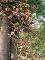 Couroupita guianensis - Cannon Ball Tree at Peravoor (50).jpg