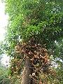 Couroupita guianensis - Cannon Ball Tree at Peravoor (51).jpg