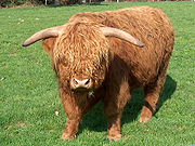 IMAGE(http://upload.wikimedia.org/wikipedia/commons/thumb/4/42/Cow_highland_cattle.jpg/180px-Cow_highland_cattle.jpg)