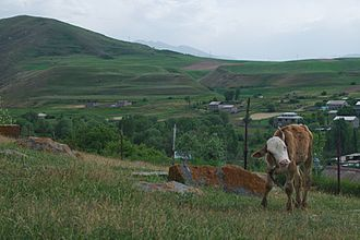 Uyts - A cow grazes on a hillside overlooking Uyts.