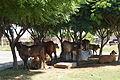 Cows I.jpg