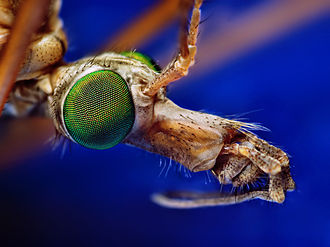 Crane fly - The head of a Tipula sp.