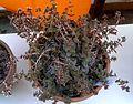 Crassula exilis 3e.jpg