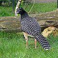 Crax fasciolata -Abenteuer Zoo, Metelen, Germany -female-8a (1).jpg
