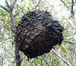 Crematogaster - Arboreal carton nest of C. castanea