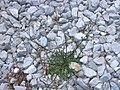 Crepis setosa plant (14).jpg