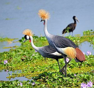 Grey crowned crane - Image: Crested Cranes, Uganda (14980702530)