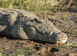 74e5c1a9879 Nile crocodile - Wikipedia