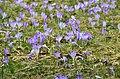 Crocus blooming in Zakopane - panoramio (7).jpg