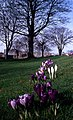 Crocuses at Northern College - geograph.org.uk - 716927.jpg