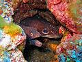 Croncidae - Conger conger.jpg
