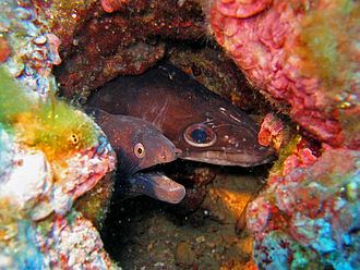 European conger - Conger conger and a moray eel in one hole, at the Protected Marine Area of Portofino