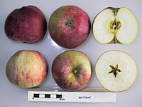 Cross section of Britemac, National Fruit Collection (acc. 1974-049).jpg