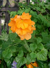 Crossandra infundibuliformis Summer Candle1