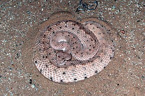 Description de l'image Crotalus.cerastes.jpg.