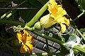 Cucurbita maxima Zapallo Plomo semillería Costanzi - flowers detail (feminine) - 1 - two female flowers on a plant and a bee.jpg