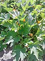 Cucurbitales - Cucurbita pepo - 4.jpg