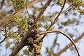 Cupressus macrocarpa Villeneuve-lès-Maguelone 04.jpg