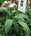 Curcuma zedoaria Habitus.jpg