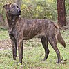 A brindle brown dog stands pointing left with its head facing the camera.