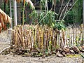 Cut bamboos at Fergusson college campus - panoramio.jpg