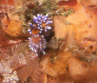 <i>Trinchesia speciosa</i> species of mollusc