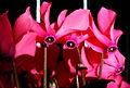 Cyclamen 2r.jpg
