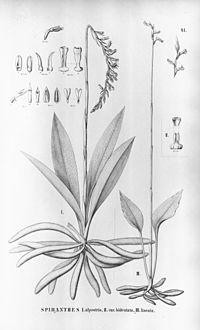 Cyclopogon congestus (as syn. Spiranthes alpestris) - Hapalorchis lineata (as syn. Spiranthes lineata) - Flora Brasiliensis 3-4-41.jpg