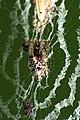 Cyclosa 2.jpg